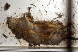 Le rat soupçonné d'avoir provoqué un court-circuit dévastateur.