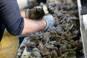 Des gestes séculaires accomplis chaque jour à Cancale par les producteurs d'huîtres.