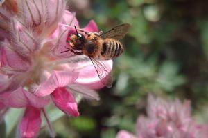 Une mégachile, une des 865 espèces d'abeilles sauvages recensées en France.