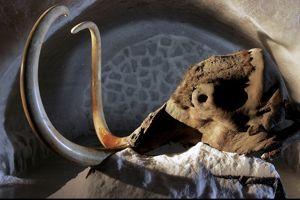 Le crâne et les défenses de Yukagir, un mammouth «vieux» de 18 500 ans.