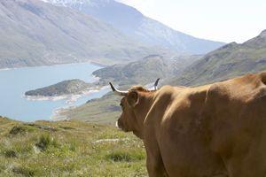 On trouve environ 70% des vaches Tarentaises en Savoie, et plus particulièrement dans la vallée qui porte le même nom.