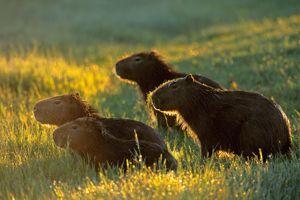 Les capybaras sont les plus gros rongeurs au monde.
