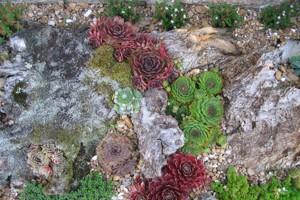 Les succulentes (ici des joubarbes) ont aussi le vent en poupe.