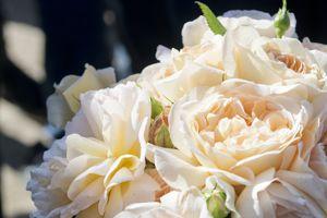 Une rose couleur thé et champagne: les deux boissons préférées d'Amélie. Crédit photo: Sirvain