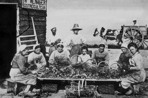 Le triage des huîtres sur l'île de Ré vers 1905.