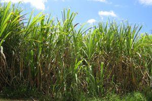 La production de canne à sucre en Guadeloupe
