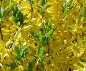 Les fleurs de forsythia n'apparaissent que sur les rameaux âgés de deux ans.