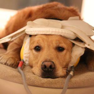 Les chiens semblent avoir apprécié l'expérience de l'IRM d'après les cherhceurs hongrois. <i>(Crédits photo: Eniko Kubinyi)</i>