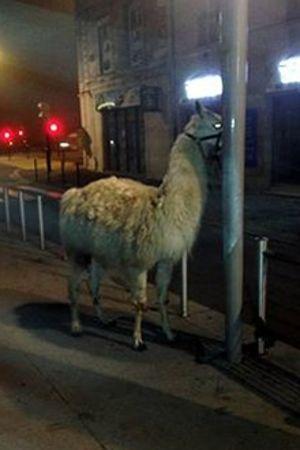 Une des dernières photos de Serge le lama apparue sur les réseaux sociaux.