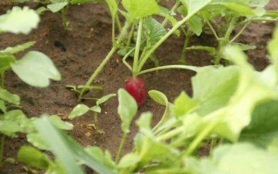 Les radis se récoltent au bout de quelques semaines, le temps pour les carottes de lever.