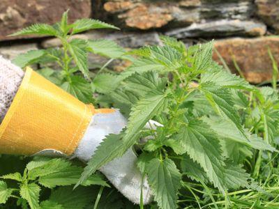 L'utilisation de l'ortie comme «médicament naturel» pour les plantes est très récente.