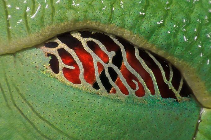 L'oeil clos d'une rainette. Pendant son sommeil, sa pupille rouge se recouvre d'une membrane en filigrane qui laisse passer la lumière. Le batracien peut ainsi voir survenir le danger.