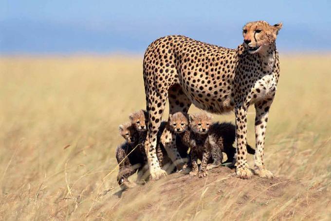 Photographiés au Kenya, dans leur environnement naturel, ces quatre chatons guépards (la moyenne habituelle pour une portée dans cette espèce) n'ont qu'une faible chance de survie. Ils ont plus de neuf chances sur dix d'être dévorés par un lion avant d'atteindre l'âge où il pourront lui échapper en courant aussi vite que leur mère: jusqu'à 110 km/h.