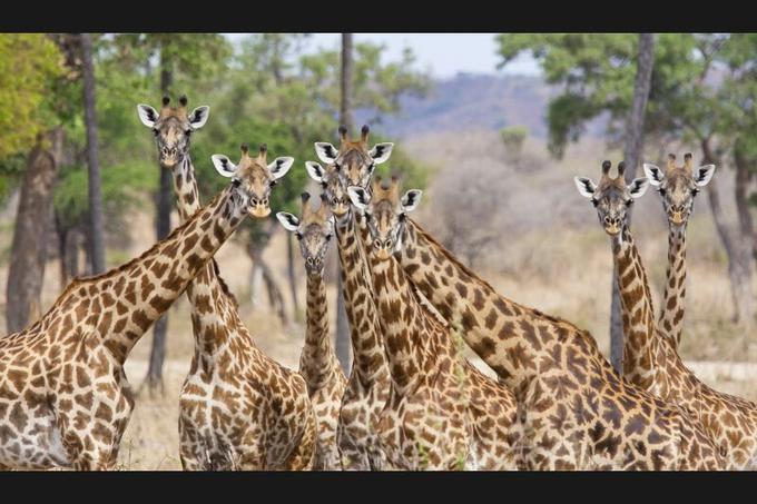 <b>Bouquet de girafes.</b><br/>Il est rare que des girafes se rassemblent ainsi, en regardant toutes dans la même direction. Et c'est d'ailleurs ce qui a le plus surpris le photographe, ravi de réussir un tel cliché, avant qu'il ne réalise qu'elles étaient en train de se régaler d'un festin tout à fait inhabituel pour des ruminants : une carcasse de buffle, dont elles mâchonnaient les os afin d'en extraire le calcium, dans une position semi-fléchie qui les rendaient particulièrement vulnérables et donc très attentives à un éventuel prédateur. Aussitôt rassurées, elles ont replongé vers leur mine de chewing-gum carné. Car les girafes ont besoin de 20 grammes de calcium par jour, et ils sont plus faciles à trouver là que dans 50 kilos de feuilles d'acacia.