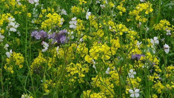 Un sol non labouré se salit et se tasse très vite. On peut y remédier en semant un engrais vert (moutarde, trèfle, phacélie…) entre deux cultures. En empêchant la lumière d'atteindre le sol, cet écran végétal va inhiber la levée des mauvaises herbes.