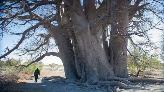 Le baobab de Chapman, sur lequel Livingstone grava ses initiales, est classé monument national.