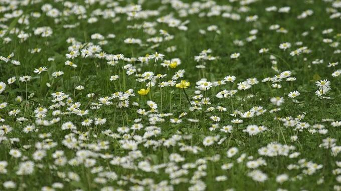 Si les pâquerettes parsèment votre pelouse au printemps, c'est que le sol de votre jardin est acide.