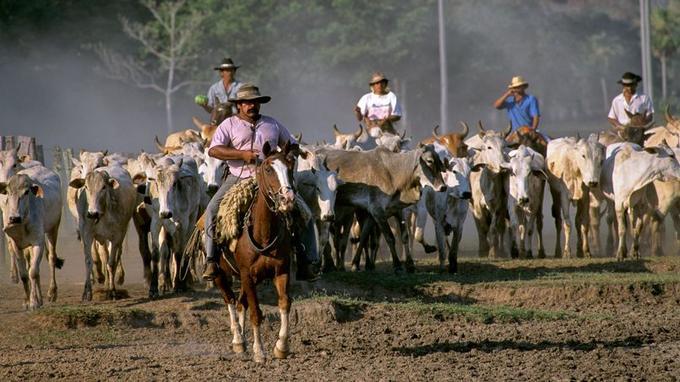 Sur la terre ferme ou à la nage, les gardiens de bétail ou «peaos» guident les troupeaux à travers l'immensité du marais.