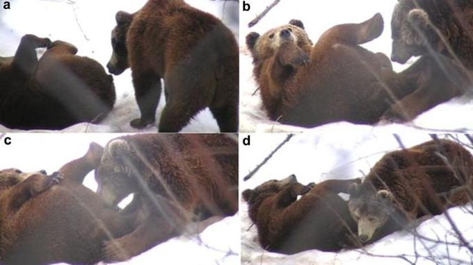 Une des fellations observées par les chercheurs. (<i>Crédits photo: Zoo Biology, Fellation in Captive Brown Bears: Evidence of Long Term Effects of Suckling Deprivation?</i>)