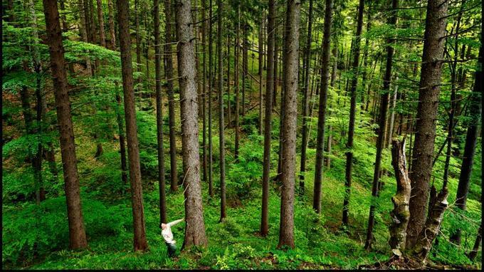 Un sol spongieux ou craquant, formé de plusieurs couches de nutriments, et des arbres qui peuvent atteindre 58 mètres de hauteur et 5 de ciroconférence. L'homme est bien peu de chose...