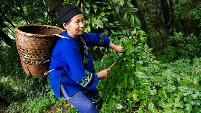 Les Miaos vivent principalement de la culture du riz, du tabac et du thé. Ils maitrisent à la perfection les usages et vertus des plantes médicinales.