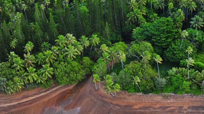 Emblème végétale de la Nouvelle-Calédonie, le pin colonnaire appartient à un patrimoine immémorial que l'île se montre soucieuse de préserver aux dérives de l'extrême modernité.
