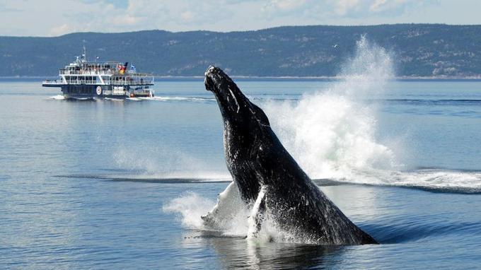Une baleine surgit des eaux pour le bonheur des touristes. (Crédit: Jean-Pierre Sylves/ Québec Maritme)