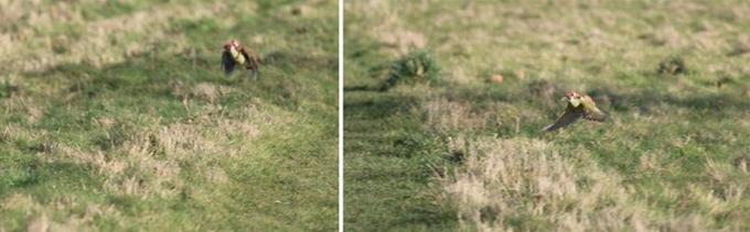 Une photo prise après l'envol du pic-vert. Le cliché est un peu flou, mais le passager clandestin est visible sur le dos de l'oiseau.
