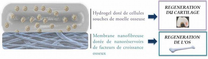 L. Keller, P. Schwiinté, Nadia Benkirane-Jessel UMR 1109, Laboratoire de Nanomédecine Régénérative Ostéoarticulaire et Dentaire, Inserm, Université de Strasbourg, HUS de Strasbourg, ARTiOS Nanomed (spin off Inserm).