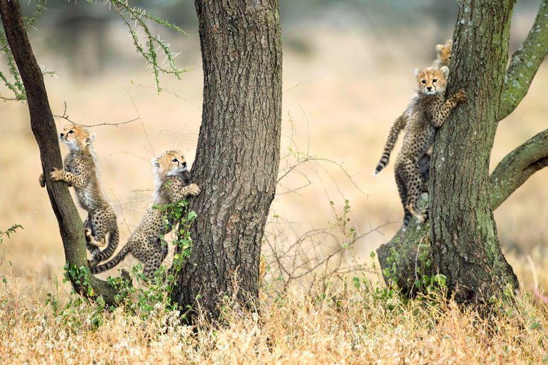<b>Chats perchés.</b> Ils ont l'air de jouer mais à n'en pas douter, ces quatre chatons guépards de Tanzanie se livrent avant tout à un apprentissage vital pour eux. À leur âge -probablement 4 ou 5 mois, car ils ont encore une crinière sur le dos -, près de 3 guépards sur 4 nés en liberté ont déjà été tués par l'un des nombreux prédateurs qui les menacent. Et pour ceux qui parviennent à l'âge adulte, ce n'est guère mieux: non contents de leur voler leurs proies, les lions et les hyènes profitent souvent de leur essouflement après la course pour leur briser l'échine ou les égorger d'un coup de dents. D'où l'intérêt d'apprendre à grimper aux arbres tant que leur mère est encore là pour surveiller les alentours.