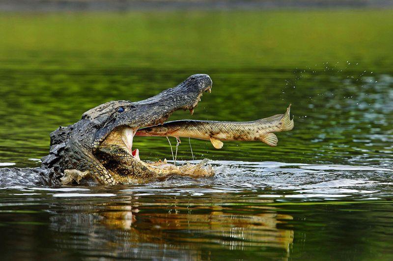 <b>Fast-food. </b>Un titre en anglais, d'accord, mais doublementj ustifié. D'abord parce que cette scène s'est déroulée en Floride. La photographe a eu beaucoup de chance, et le poisson très peu: trop d'alligators, pas assez d'eau.La sécheresse le condamnait à terminer presque à coup sûr dans la gueule de l'un des 70 sauriens qui surpeuplaient ce jour-là la rivière Myakka. Ensuite, en raison de la qualité du festin, avalé en outre de façon fort gloutonne: cepoisson a beau ressembler à un esturgeon, ses oeufs sont en réalité toxiques. Quant à la fraîcheur de sa chair, elle n'était probablement pas du goût d'un alligator, amateur de proies longuement faisandées. Bref, si ce repas fut bel et bien très rapide, il n'avait rien de gastronomique…