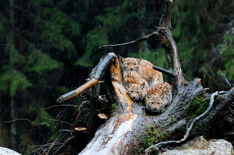 <b>Mais où sont les lynx?</b> Cette femelle et ses deux petits, serrés les uns contre les autres pour se protéger de la pluie qui tombe sur la forêt allemande, ont sans doute plus de chance que leurs congénères des Vosges. Selon l'Office national de la chasse et de la faune sauvage (ONCFS) et plusieurs associations, ce grand félin d'Europe, réintroduit il y a une trentaine d'années dans la région, serait à nouveau en voie de disparition. Braconnage? Mauvaise adaptation de l'espèce à des massifs forestiers trop morcelés? Consanguinité? De nombreuses hypothèses sont avancées pour expliquer le déclin du lynx vosgien, alors que ce grand prédateur prospère ailleurs en France, dans le Jura et les Alpes. Pour l'heure, le mystère demeure et les experts sont mobilisés.