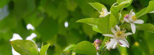 Citronnier Pourquoi Ne Fleurit Il Pas