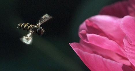 Sciences : Le vol des insectes en pilotage automatique
