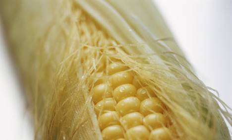 Les experts européens innocentent un OGM