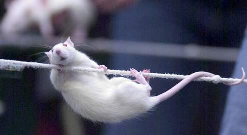 Des chercheurs créent un cœur de rat en laboratoire