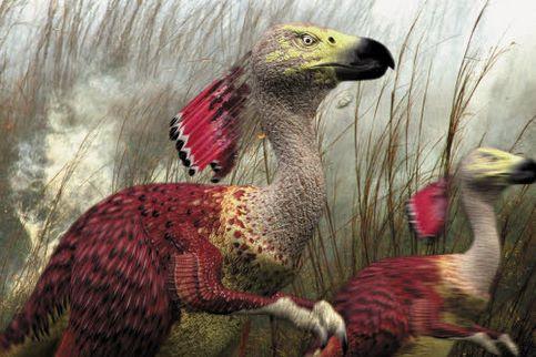 Le Caracoureur est le lointain descendant du Caracara, un oiseau de proie d'Amérique du Sud. Il n'utilisera plus ses ailes que pour garder l'équilibre.