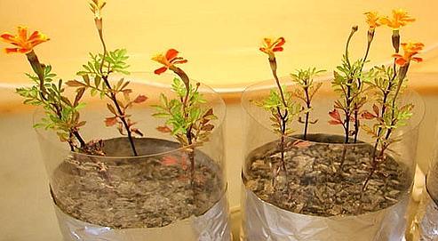 Des plantes pourraient être bientôt cultivées sur la Lune 0007649e-0d55-11dd-b6a3-a0f6f456bb3a