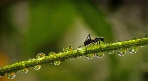 Une fourmi parasitée va grimper sur un brin d'herbe, s'installer en haut, et, laissant tomber toutes ses autres tâches de fourmi, attendre des heures qu'un mouton vienne l'avaler par inadvertance.