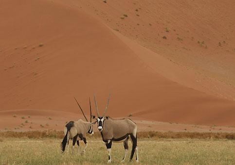 Le bel oryx, animal emblématique du désert du Namib, règle la température de son corps et sa transpiration pour survivre sans boire dans des conditions de chaleur extrême.