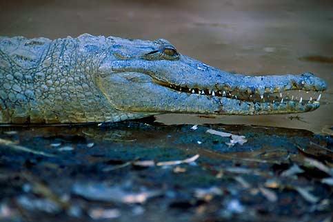 Un «freshie», timide crocodile d'eau douce que l'on ne rencontre que dans les rivières australiennes.