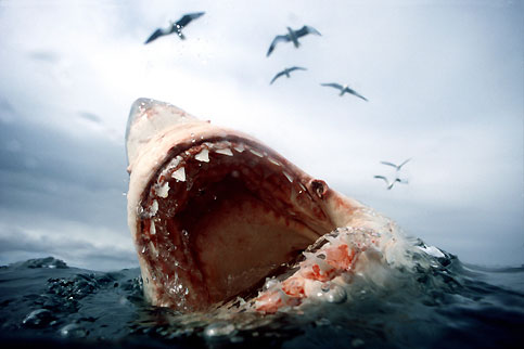 Carcharodon carcharias. Espèce : poisson. Taille : jusqu'à six mètres pour environ 2 tonnes. Alimentation : très variée. Espérance de vie : jusqu'à 60 ans. Et pourtant, rare sont les requins blancs qui atteignent cet âge. Le plus grand poisson prédateur, symbole de la terreur qu'inspirent les profondeurs depuis la série des «Dents de la mer», est aujourd'hui menacé de disparition, en raison, notamment, de la surpêche dont il est victime. Même s'ils sont incontestablement à l'origine d'attaques de surfeurs, de plongeurs ou de kayakistes, ces requins n'agressent que très rarement les hommes, sauf lorsqu'ils les confondent avec d'autres proies.