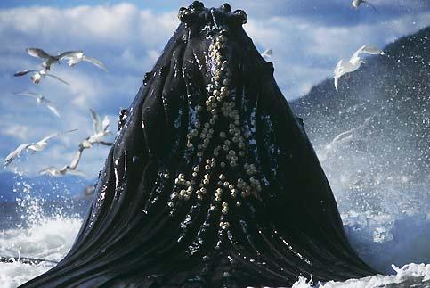 Jaillissant des flots comme un volcan vivant, cette baleine à bosse est en train de se régaler de centaines de poissons, d'abord encerclés par elle dans un cylindre de bulles sous-marines, puis gobés en une seule remontée. Un cliché magnifique rendu possible par l'extrême sociabilité de ces animaux, aussi joyeux que joueurs et peu craintifs, ce qui les rend évidemment très vulnérables. Rien qu'au cours du XXe siècle, 200 000 d'entre eux auraient été massacrés. Un carnage interdit depuis 1966 : de 20 000 individus en 1986, la population de ces mégaptères serait aujourd'hui repassée à 35 000. Pour le plus grand bonheur de ceux, nombreux, qui rêvent un jour d'en voir un.
