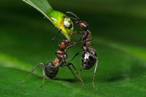 Exploratrice infatigable, la fourmi parcourt la Terre depuis 130 millions d'années et pèse 10 % de la biomasse animale de la planète.