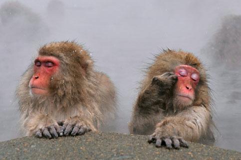 Très appréciés des touristes pour la ressemblance de leurs mimiques avec celles des humains, ces macaques savourent avec un évident bonheur un bain brûlant dans les sources thermales du parc de Yamanouchi, au Japon. Une très ancienne légende affirme que les samouraïs ont creusé ces bassins dans la roche exprès pour eux, afin de les protéger des rigueurs de l'hiver (il neige quatre mois par an dans cette région), et pouvoir ainsi continuer à les utiliser pour espionner et piller leurs ennemis. Quoi qu'il en soit, le remède semble efficace. Les macaques prospèrent dans cette partie du pays, au point d'attirer les visiteurs presque autant que les pistes de ski.