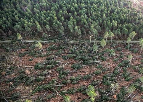 Une première estimation des professionnels évalue à 60 % la part de la forêt des Landes détruite dans les Landes et en Gironde. Avec des rafales à plus de 170 km/h, les pins maritimes, ces colosses de 30 mètres de hauteur aux racines peu profondes, ont été décimés, comme ici, près de Labouheyre.
