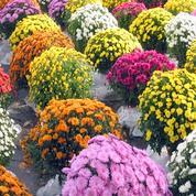 Les chrysanthèmes ,sont efficaces contre les méfaits du benzène.