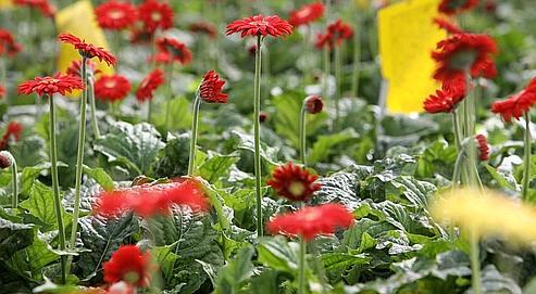 «Toutes les plantes vertes n'agissent pas sur les mêmes polluants». Le gerbera par exemple (notre photo) combat le benzène, tandis que la sansevière peut absorber le trichloréthylène, le toluène et le xylène.