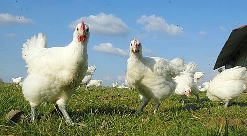 The Fools: Psycho Chicken