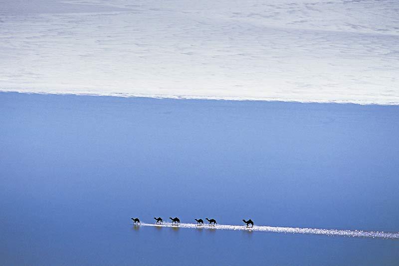 Les pluies ont été très abondantes sur le Parc national du lac Gairdner. Aussi, ces six dromadaires ont-ils vu leur environnement sablonneux remplacé par de l'eau. Cette image est exceptionnelle, car il ne pleut pratiquement jamais dans cette région. C'est la raison pour laquelle les scientifiques viennent y étudier la vie de la faune et de la flore dans ces conditions extrêmes. Située à 436 kilomètres d'Adélaïde, capitale de l'Australie-Méridionale, la réserve naturelle du lac Gairdner est la plus aride de ce continent, qui ne possède pas moins de 516 parcs nationaux et de 2700 zones de protection, abritant pour certaines les plantes les plus anciennes de la planète.